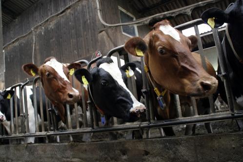 31225-cows-552947_1280