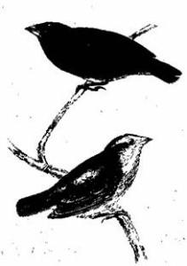 Cactornis scandens, Gould  Остров Джемс