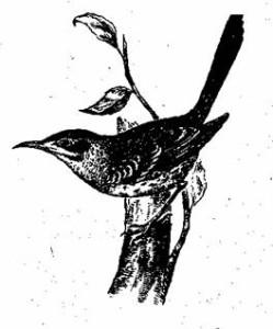 Галапагосские дрозды-пересмешники