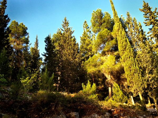 Pines and cypresses on the western slopes of Mount Herzl in the Jerusalem Forest.