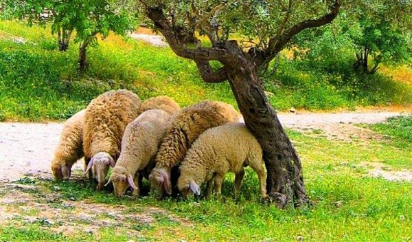 Sheep grazing under an olive tree in Israel.
