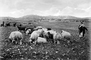 Shepherds' Fields east of Bethlehem. (circa. 1898-1946).