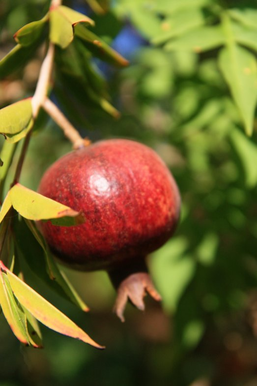 8_Pomegranate fruit in Israel