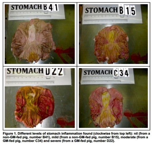 GMO-study-of-inflamed-pig-stomachs