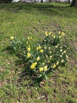 Patch of daffodils in the Charlesgate area
