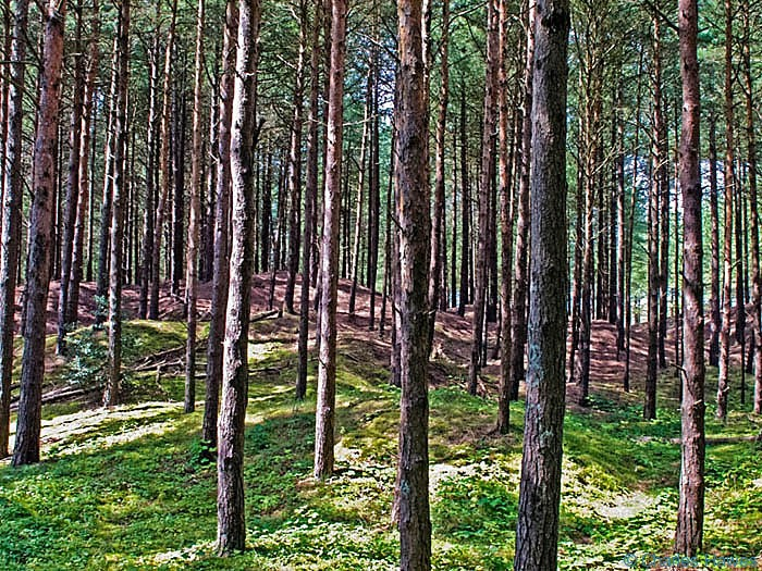 Pine woods in Whiteford Nature Reserve taken from The Wales Coast Path, photographed by Charles Hawes Between Rhossili and Llanrhidian. Walking in Wales.