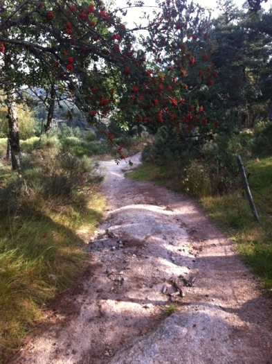 Sorbus by the path between Les Faux and Aumont Aubrac on The way of St James, France, Photographed by Charles Hawes, Route St Jacques, GR65.
