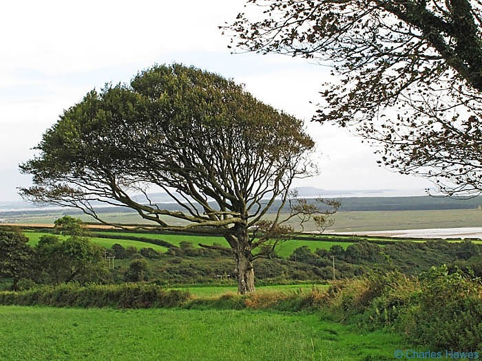 Wind-swept Beech tree on the Wales Coast Path between Kidwelly and Carmarthen, photographed by Charles Hawes. Walking in Wales.