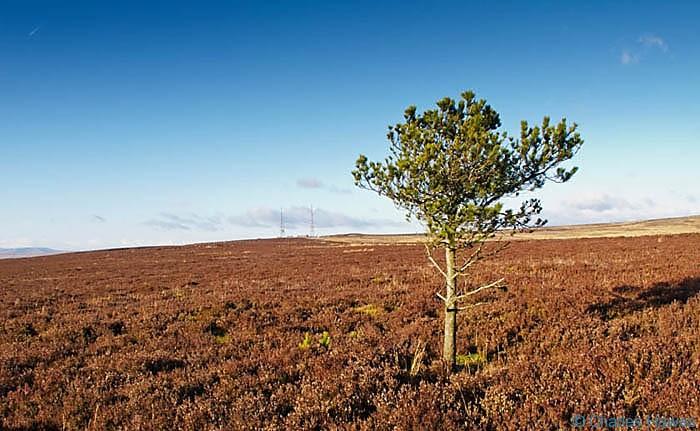 Isolated tree near Mynedd y Garn Faw, photographed by Charles Hawes. Walking in Wales.