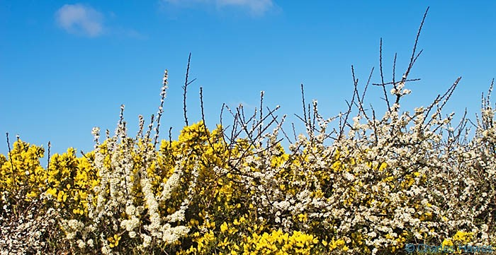 Hedge of gorse and sloe on the Wales Coast Path at Angle Bay, Pembrokeshire, photographed by Charles Hawes