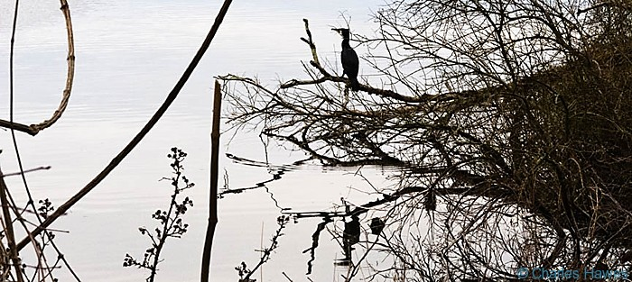 Shag perching at the edge of Bosherston Lily Pond, Pembrokeshire, photographed by Charles Hawes