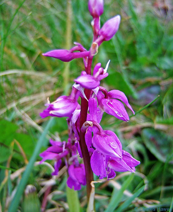 Orchid on The Wales Coast Path in Pembrokeshire, photographed by Paul Steer