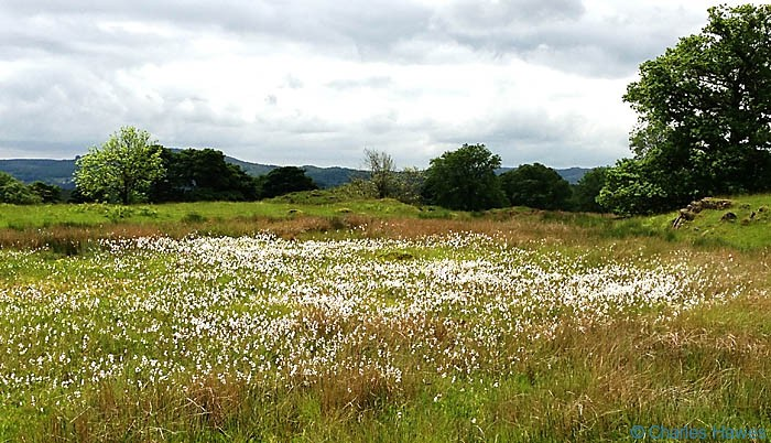 Area of Eriphorum 9Cotton Grass) on The Dales Way near Hag End in Cumbria, photographed by Charles Hawes