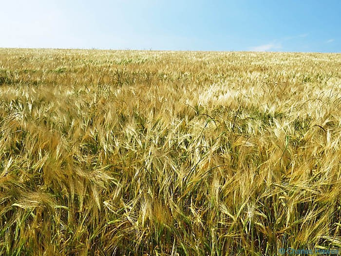 Field of barley photographed from The Wales Coast Path in Pembrokeshire by Charles Hawes