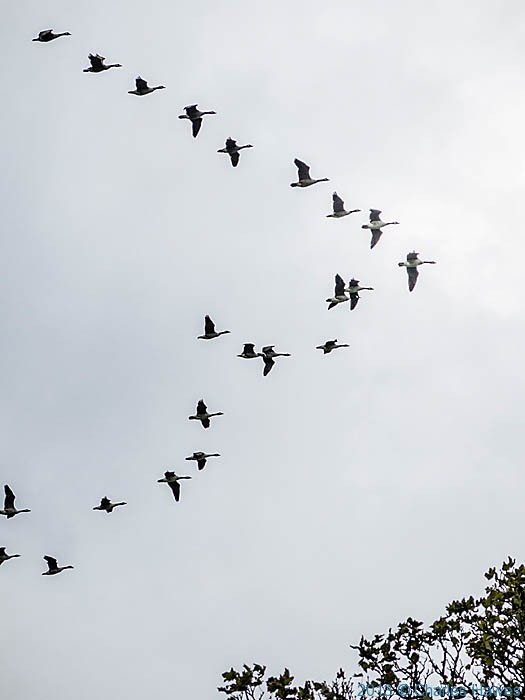 geese flying over the Wales Coast Path at the Teifi estuary, photographed by Charles Hawes