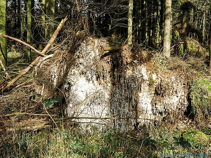 Uprooted tree in Coppice in Grovely Woods, Wiltshire, photographed by Charles Hawes