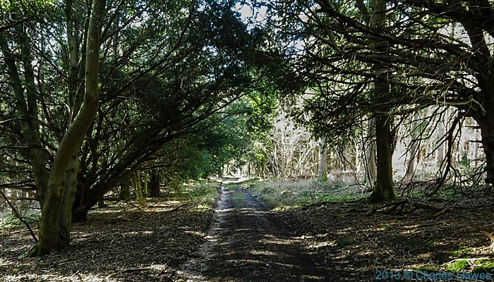 Yews in Grovely Woods, Wiltshire, photographed by Charles Hawes
