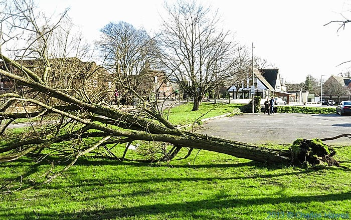 Storm felled tree next to riverside path of the Avon in Salisbury, photographed by Charles Hawes