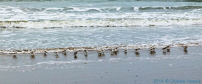 Sanderlings on the shore near llanenddwyn, photographed from The Wales Coast Path by Charles Hawes