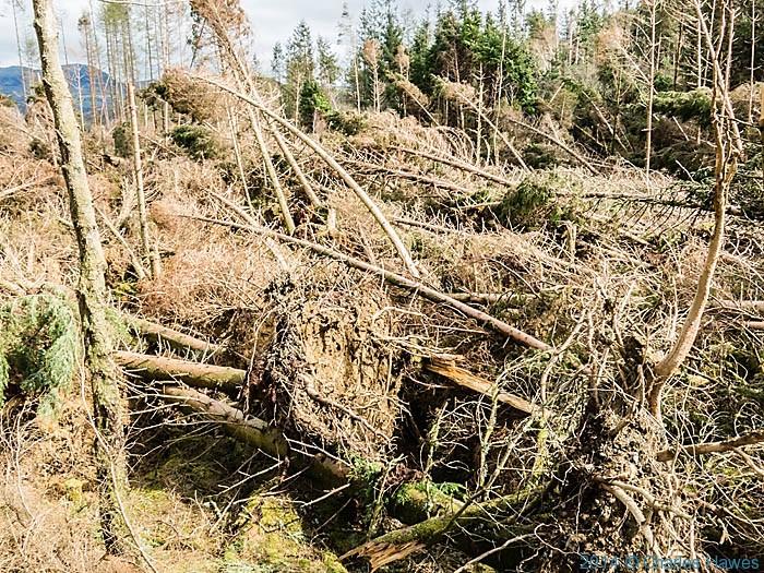 Storm damage in Coed Felinrhyd, Gwynedd, photographed from the Wales Coast Path by Charles Hawes