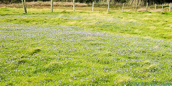 Field of scabious near Criccieth, photographed from The Wales Coast Path by Charles Hawes