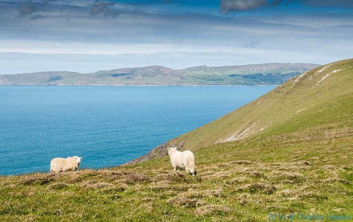 Sheep on cliff tops near Porth Neigwl, photographed from The Wales Coast Path by Charles Hawes