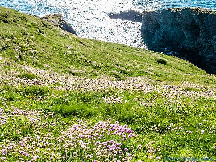 Thrift on the cliff tops near Porth lago on the Lleyn peninsula, photographed from The Wales Coast Path by Charles Hawes