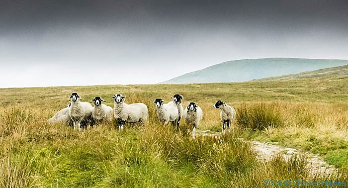 Sheep on the Dales High Way near Ingleborough, photographed by Charles Hawes