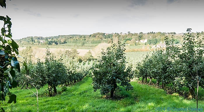 Apple Orchard near Golden Hill, canterbury, photographed from The North Downs Way by Charles Hawes
