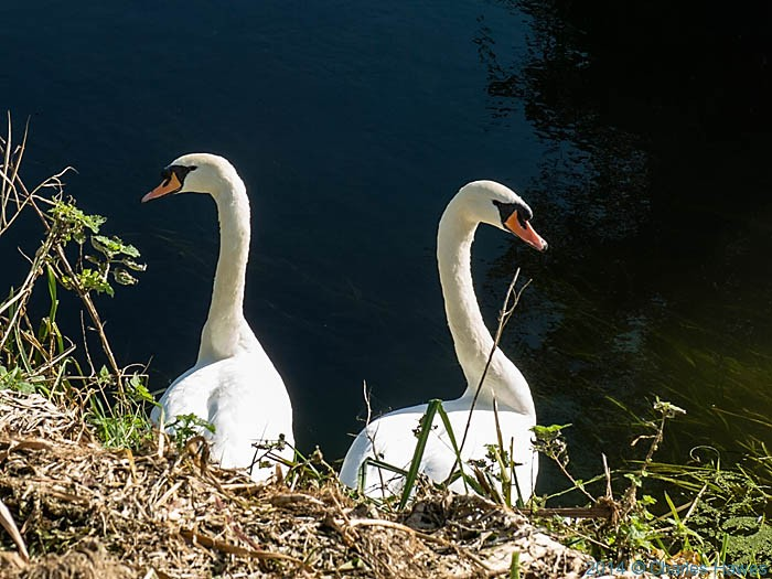 Swans on the Little Stour near Canterbury, photographed by Charles Hawes