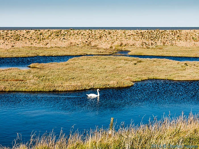 Swan on a pond near Reculver, photographed from The Wantsum Walk by Charles Hawes