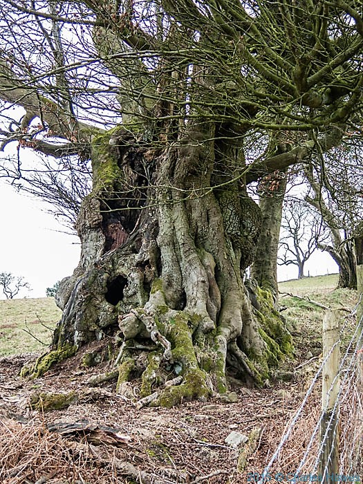 Stunted old beech on the North Cardiff Craigs walk, photographed by Charles Hawes