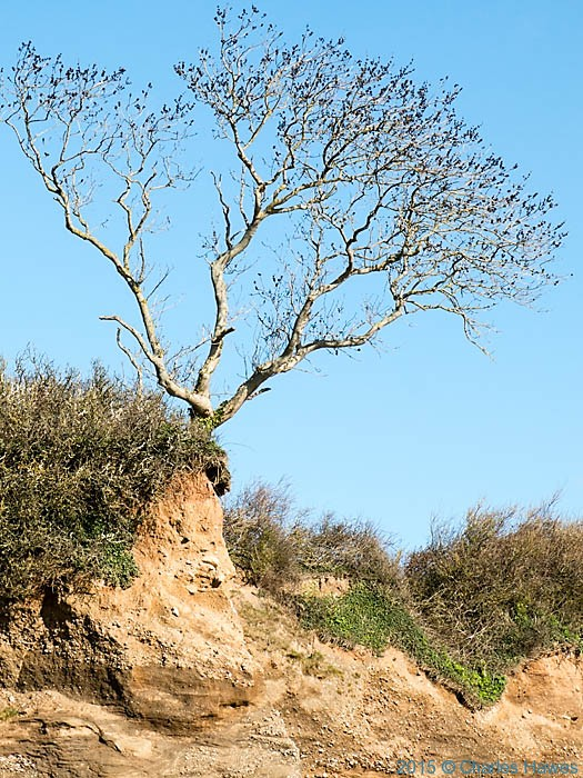 Tree at edge of coast near  Beaumaris, Anglesey, photographed from The Wales Coast Path by Charles Hawes