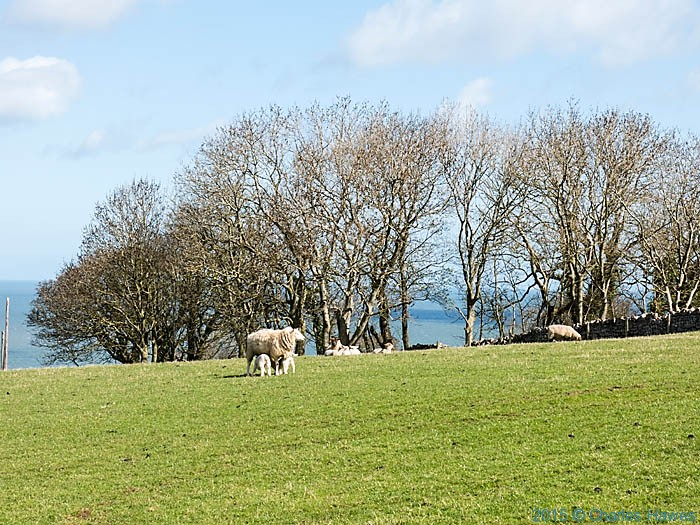 Shhep and lambs near Glan y Afon, Anglesey, photographed from The Wales Coast Path by Charles Hawes