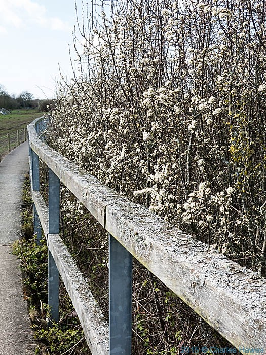Blacktorn hedge by the seawall at Red Wharf Bay, Anglesey, photographed from The Wales Coast Path by Charles Hawes