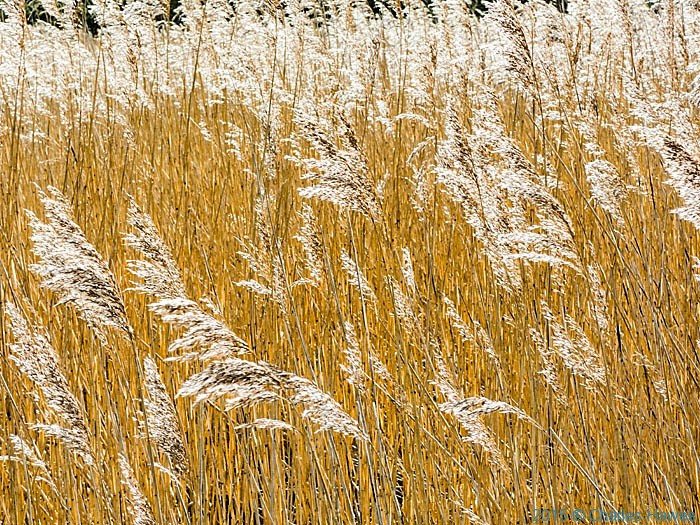 Reeds bythe seawall at Red Wharf Bay, Anglesey, photographed from The Wales Coast Path by Charles Hawes