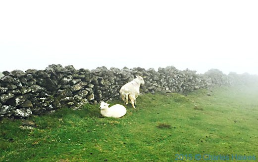 Shhep near the summit of Moel Heborg, Snowdonia, photographed by Charles Hawes