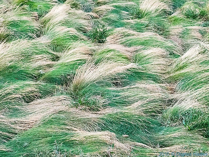 Tussocky grass by the Wales Coast Path, photographed by Charles Hawes
