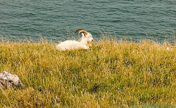 Goat on Great Orme, photographed from The Wales Coast Path by Charles Hawes