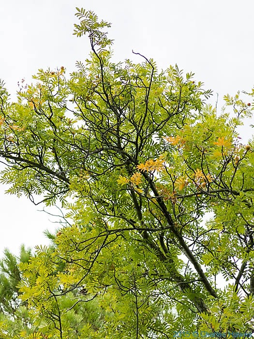 Sorbus in woods near Badia a Passignano, Tuscany, photographed by Charles Hawes