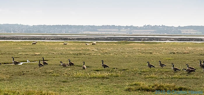 Canadian Geese on the Flint Marshes, photographed from The Wales Coast Path by Charles Hawes.