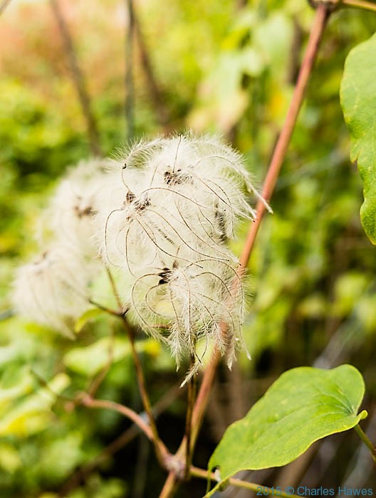 Clematis vitalba seedheads on Lamole ring walk, Chianti, Tuscany, photographed by Charles Hawes