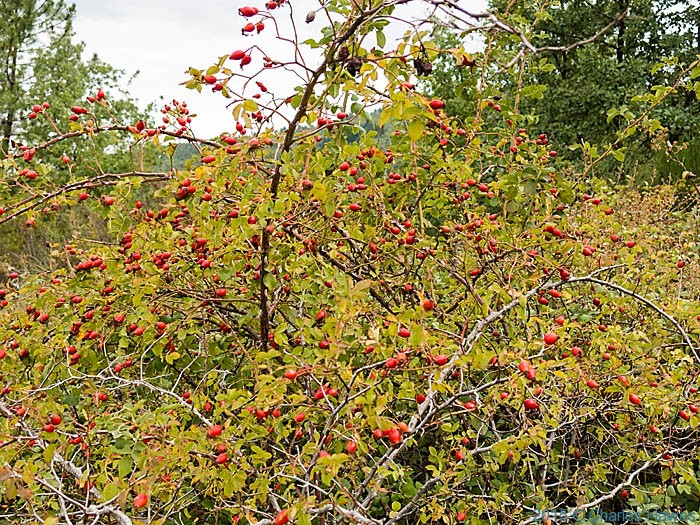 Wild rose hips on Lamole ring walk, Chianti, Tuscany, photographed by Charles Hawes