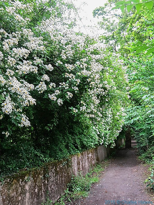Rambler Rose on the Cambrian Way near Whitchuch, Cardiff, photographed by Charles Hawes