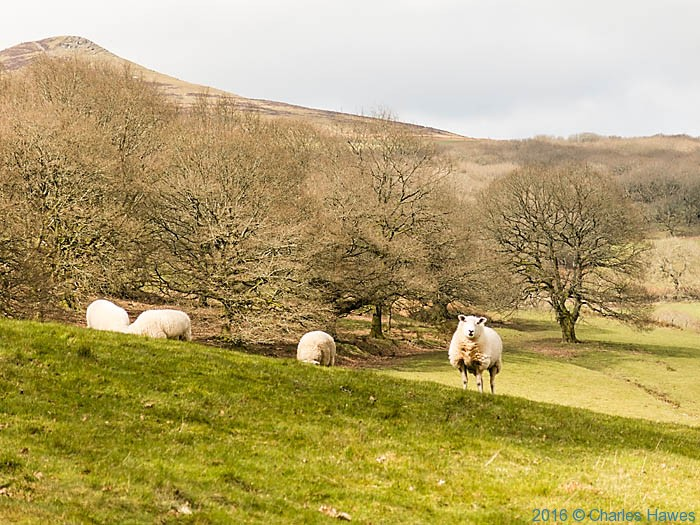 Sheep of Parc Lodge Farm, photographed from The Cambrian Way by Charles Hawes