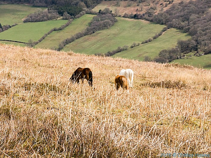 Wild horses above the Vale of Ewyas, photographed from The Cambrian Way by Charles Hawes