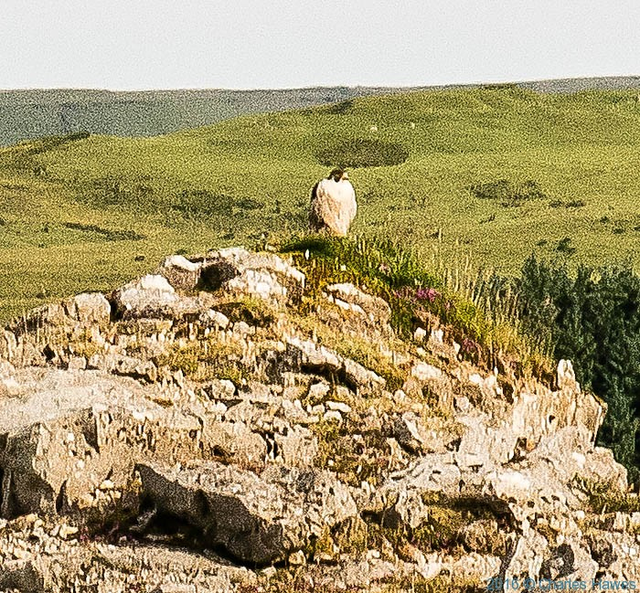 Peregrin Falcoln at Cwar yr Hendre quarry, Brecon Beacons, photographed by Charles Hawes