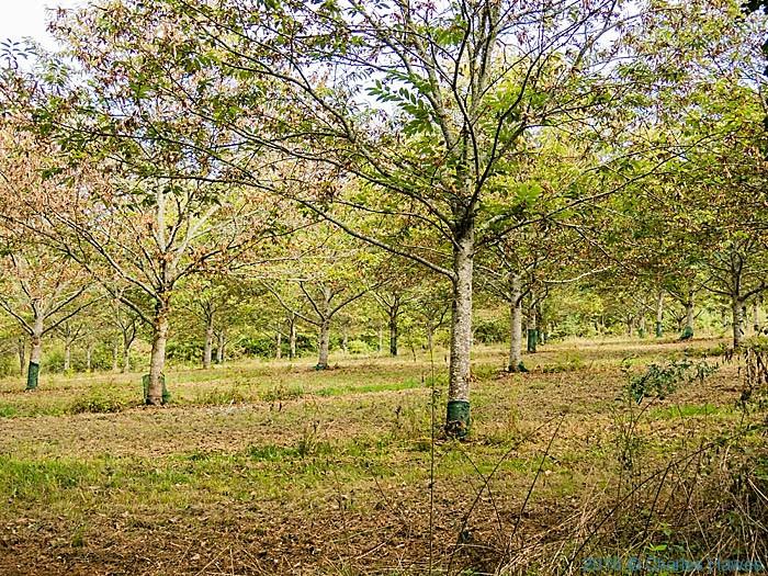 Chestnut plantation near Ligneyrac, France, photographed by Charles Hawes