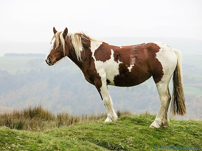 Wild horses in Carmarthenshire near Llandovery, photographed from The Cambrian way by Charles Hawes