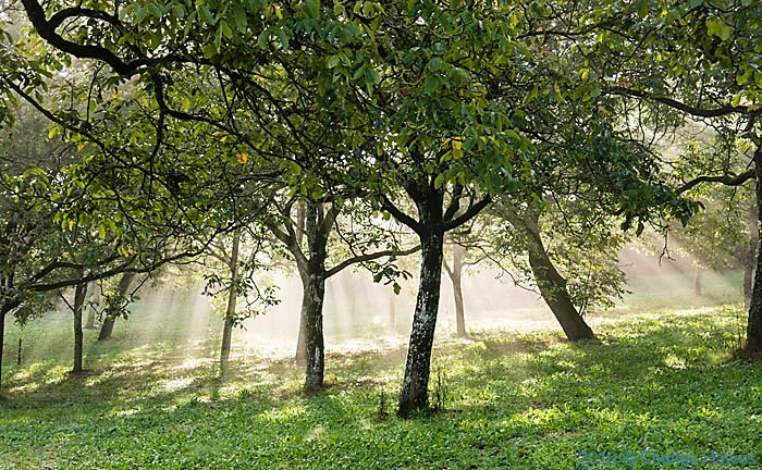 Walnut orchard outside Carennac, France, photographed by Charles Hawes